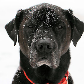 Snowy Day by Sandy Considine - Animals - Dogs Portraits (  )