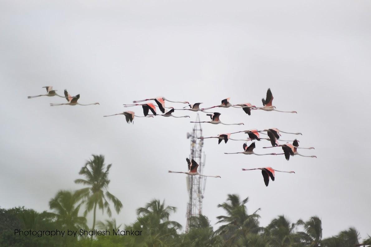 Migratory Birds in Vasai