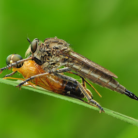 Death Kiss by Endra  Dharmalaksana - Animals Insects & Spiders