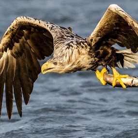 White-tailed eagle by Dennis Hallberg - Animals Birds ( bird, white-tailed eagle, bird of prey, eagle, sea eagle,  )