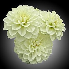 AYLI dahlia 88 by Michael Moore - Flowers Flower Arangements