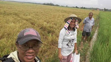 Photo: An organic SRI field in Iloilo, The Philippines (on the righthand side of the photo).  [Photo courtesy of Joby Arandela, The Philippines, 2015].