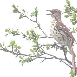 Brown Thrasher by Jaliya Rasaputra - Animals Birds