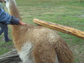 Photo: Guanaco (Patagonische lama)