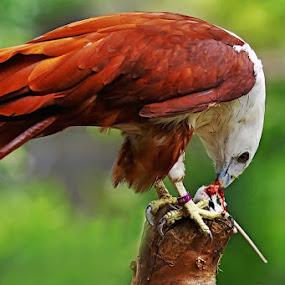by Ian Sumatika - Animals Birds