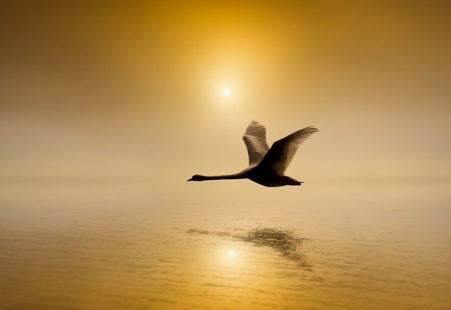 Low Level Flier by Adrian Campfield - Digital Art Animals ( water, orange, wildlife, yellow, rivers, birds, high tide, shadows, flight, foggy, mute swan, sky, dawn, winter, red, nature, wings, cloud, weather, silhouettes, golf, sunrise, wet, misty, golden,  )