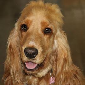 Lexi by Chrissie Barrow - Animals - Dogs Portraits ( female, cocker spaniel, pet, pup, dog, portrait )