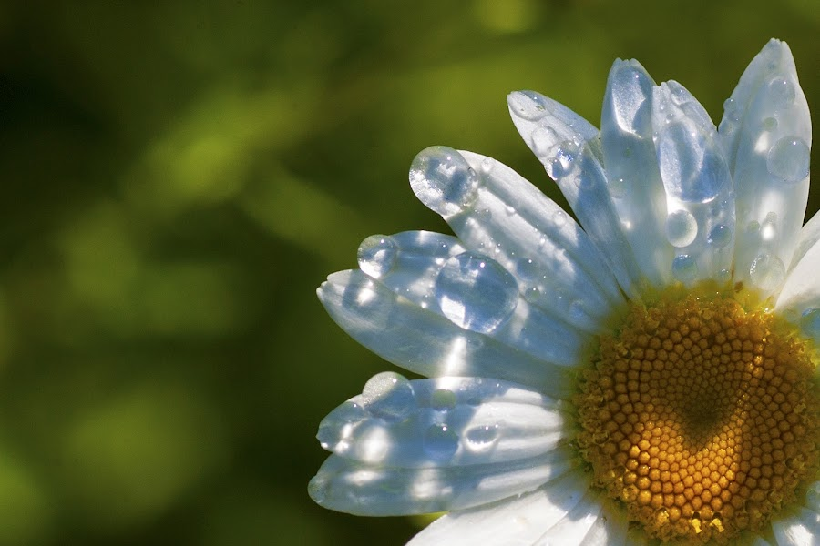 Morning sunshine by Teri Garrison-Kinsman - Flowers Single Flower ( daisy with raindrops, oxeye daisy, oxeye, daisy in a garden, flower with raindrops, daisy, flower )