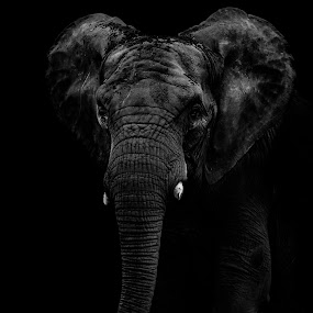 The African Elephant by Andy Smith - Uncategorized All Uncategorized ( elephant, africa,  )