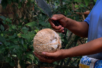 Photo: cracking a coconut with the blunt edge of a cleaver (just like I show students how to do in class)