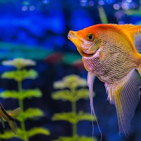 Toetoe by Gerd Moors - Animals Fish ( orange, blue, fish, funny, fun, tank,  )