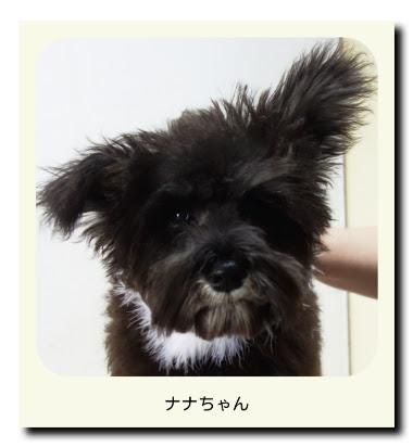 ミニチュアシュナウザー(子犬・パピー)のナナちゃん