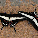 Hectorides Swallowtail