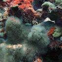Encrusting gorgonian