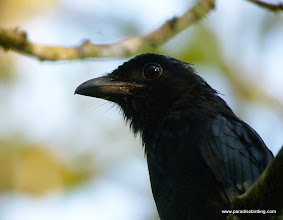 Photo: Up close and personal with the Greater Racquet-tailed Drongo, brachyphorus subspecies endemic to Borneo