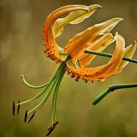ljiljan by Dunja Kolar - Flowers Single Flower ( croatia, botanical garden, zagreb, ljiljan )