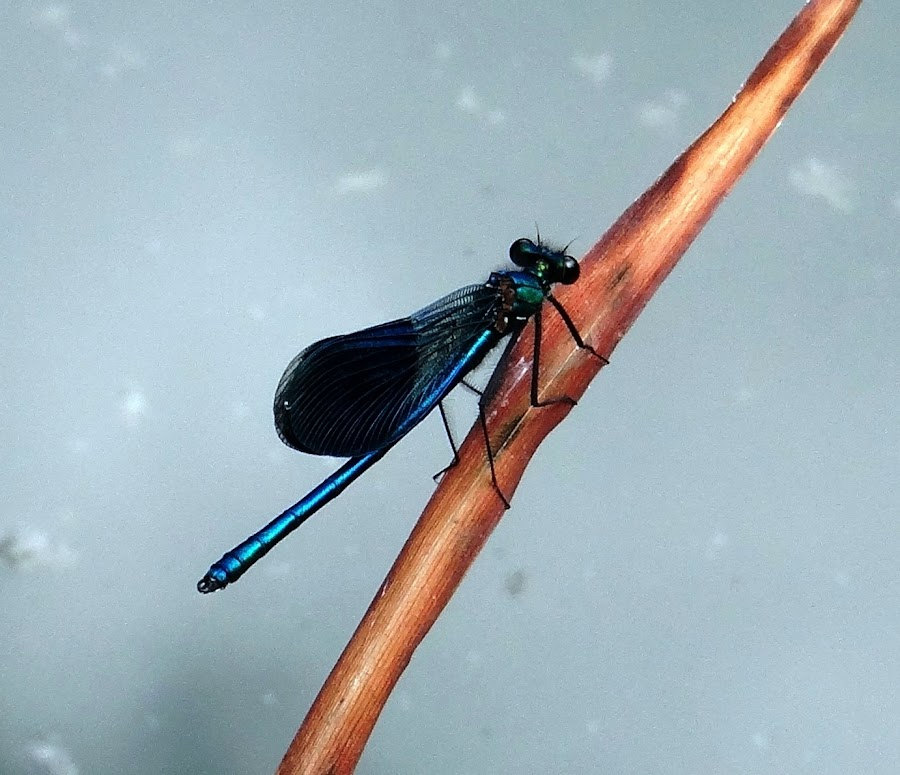 turquoise dragonfly on the orange list .. by Dubravka Bednaršek - Animals Insects & Spiders (  )