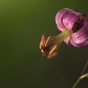 Lilium martagon by Sorin Lazar Photography - Flowers Single Flower ( single_flower, outdoor garden, outdoor photography, nature, outdoor, outside, flower )