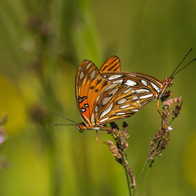 by Roy Walter - Animals Insects & Spiders ( butterfly, nature, mating, insect )