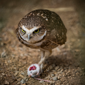 Catch of the Day by Christopher Pischel - Animals Birds ( desert dome, owl, zoo )