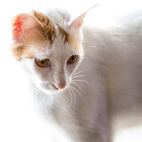 Yuki by Zetsu Nawa - Animals - Cats Portraits ( cat, japan, pet, cute, bobtail )