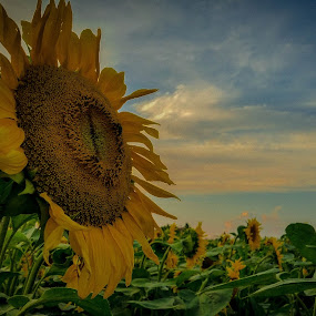Bee on sunflower by Antonio Knezevic - Landscapes Prairies, Meadows & Fields ( sky, bee, blue, sunflower, flower )