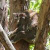 Koala (male)