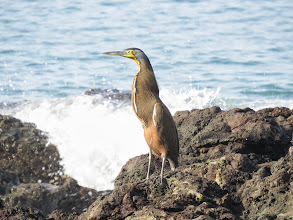 Photo: bare-throated tiger heron