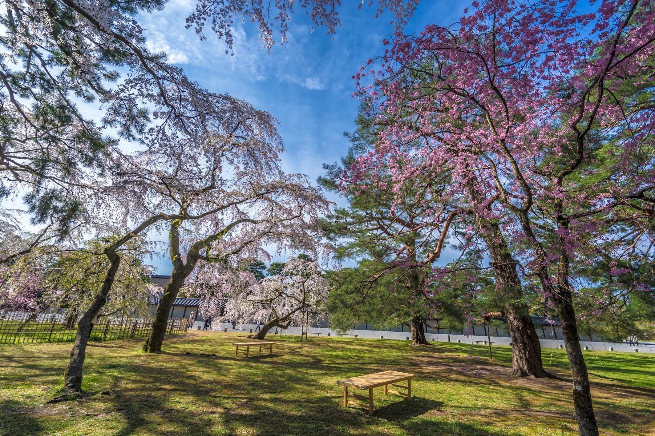 Kyoto gyoen Konoe Mansion site cherry blossoms2