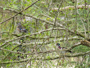 Photo: A Pair of Wood Ducks perching in a tree.