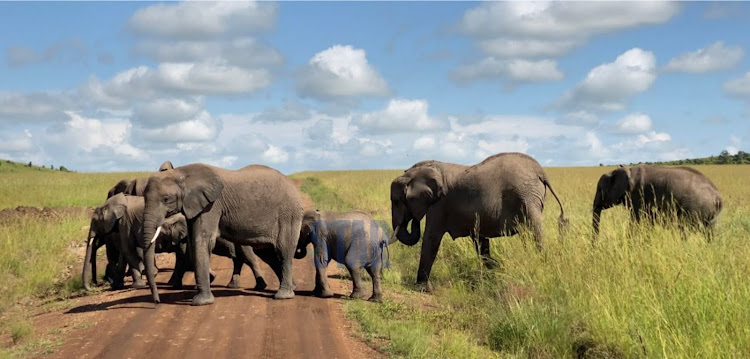 A herd of elephants on am afternoon stroll inside the mara.
