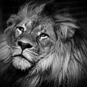 Big cat in Black & White by Deb Thomas - Animals Lions, Tigers & Big Cats ( lion, cat, african, big,  )