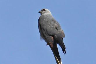 Photo: Plumbeous Kite