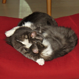 Syble and Henry by Hal Gonzales - Animals - Cats Playing ( pets, siblings, cats, sleeping cat, hug,  )