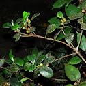 Olive Leaf Fig