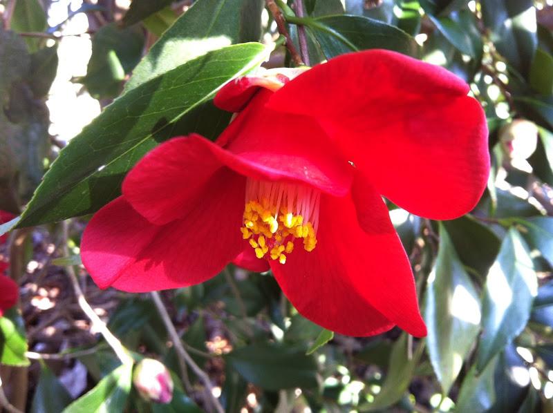 Photo: Camellia Japonica 'Winter's Fire'