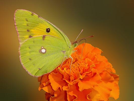 Belle e graziose, variegate e incantevoli, piccole ma avvicinabili, le farfalle ci portano verso il lato soleggiato della vita. Perché ognuno di noi merita un po' di sole. (Jeffrey Glassberg) di _Chiara_