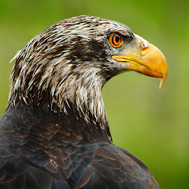 Le bec de l'aigle by Gérard CHATENET - Animals Birds