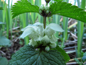 Photo: Priorslee Lake White Dead-nettle (Lamium album): though it looks like a stinging nettle this species has no hairs on the leaves and contact does not lead to a rash – hence its name. True nettles are in the genus Urtica – hence Urticaria (also Hives) as the name for any rash that looks like the effect of these nettles. (Ed Wilson)