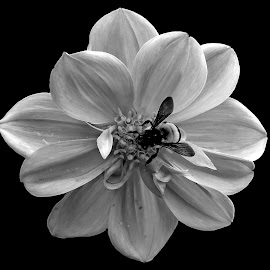 Dahlia  by Asif Bora - Black & White Flowers & Plants