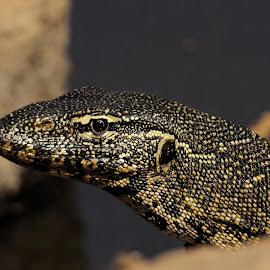 Water Monitor Lizard by Shreyas Kumar - Animals Reptiles ( southafrica, lizard, pilanesberg, monitor lizard, portrait )