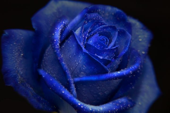 Una rosa blu di Blank