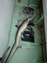 Photo: サメでした!  初めてみました。 オナガザメというらしいです。 尾っぽが長いのが特徴です。