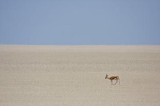 Photo: A lone impala walking across the Etosha salt pan.