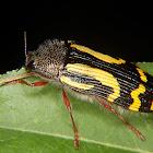 Jewell beetle