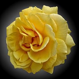 OLI rose 25 by Michael Moore - Flowers Single Flower
