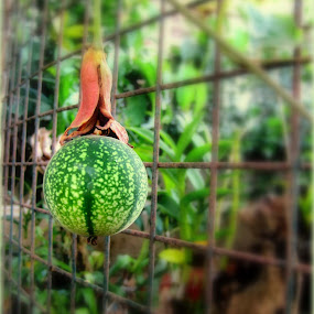 Hanging Around by Ne-z Lim - Food & Drink Fruits & Vegetables ( passion fruit )