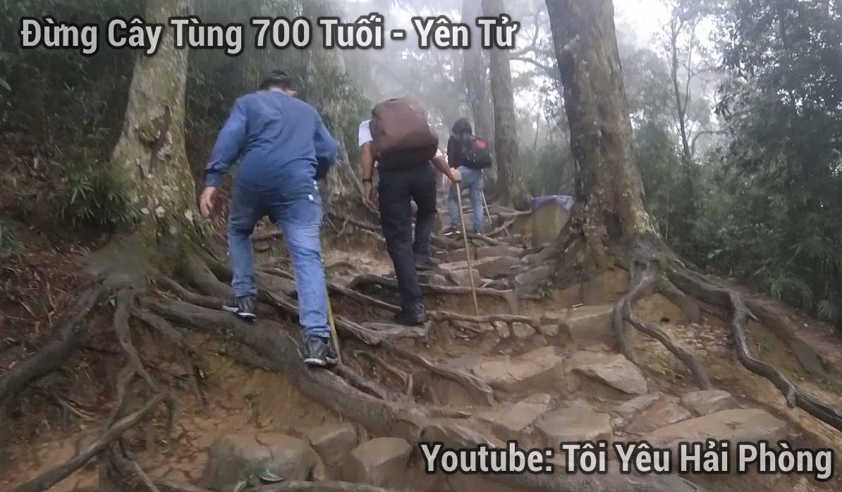 đường cây tùng 700 tuôi núi yên tử 1