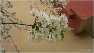 Photo: Corcodusi (Prunus cerasifera)  - din Turda, Calea Victoriei , B 15 - 2019.04.08