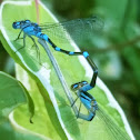 Subarctic bluet
